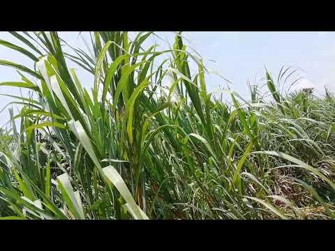 長在路旁人不识,芦竹(Luzhu grass)有着你不知道的妙用 (青草-药用-功效)