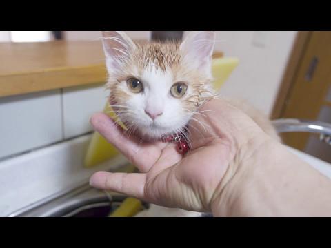 メインクーン子猫の大成長・ かわいい プリン生後6か月
