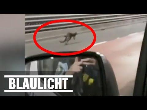 Kleines Känguru hüpft durch Sydney