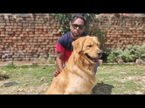 Golden Retriever- The Bruno...78276 17569 -  Doggyz World