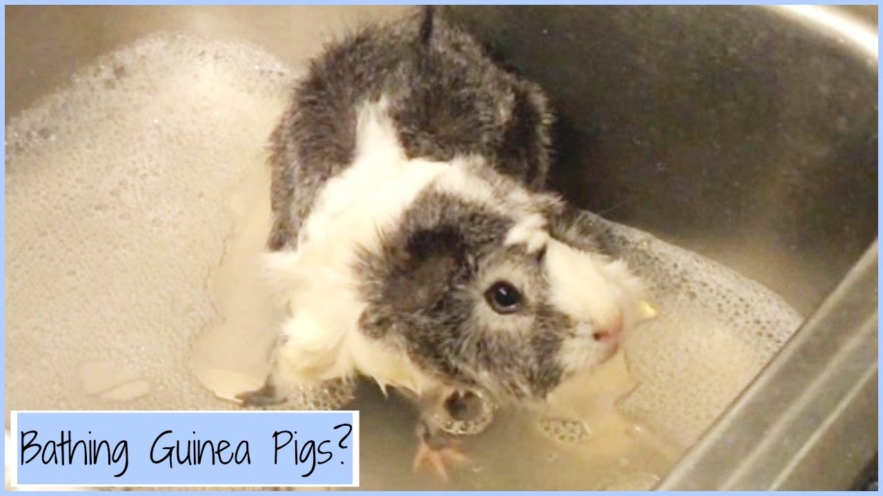 When To Bathe Your Guinea Pigs Youtube