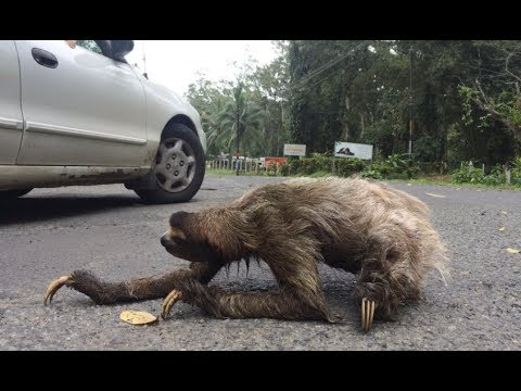Sloth Crossing A Road