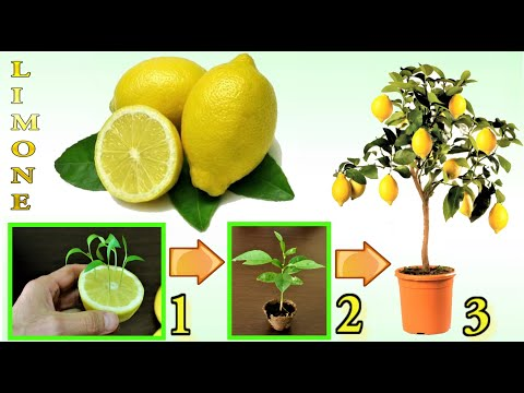 lemon, how to grow a seedling from fruit waste
