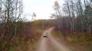 Elwood Hunts For Grouse, St. Germain, Wisconsin