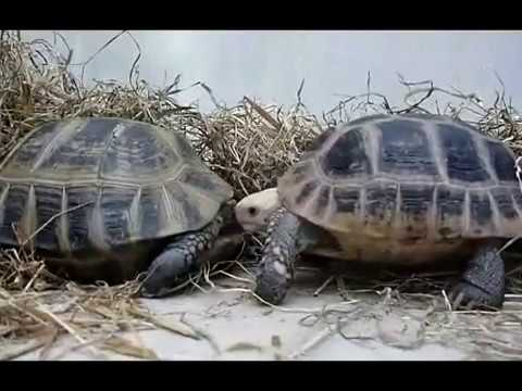Elongated Tortoise Courtship