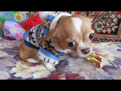 Чихуахуа мини показывает характер. серия 4 ❤ Chihuahua mini shows characterиз YouTube · Длительность: 1 мин25 с  · Просмотры: более 1000 · отправлено: 08.06.2016 · кем отправлено: СУНДУЧОК от СВЕТЛАНЫ
