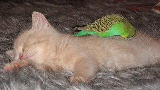 Funny Birds -  Funniest Parrots annoying Cats Compilation 2019