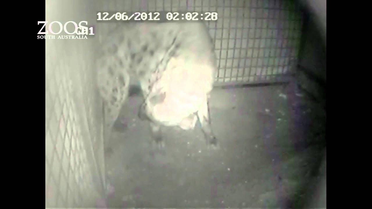 Spotted Hyena, Kigali, gives birth at Monarto Zoo. - YouTube