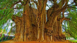 Top 15 Oldest Living Trees In the World