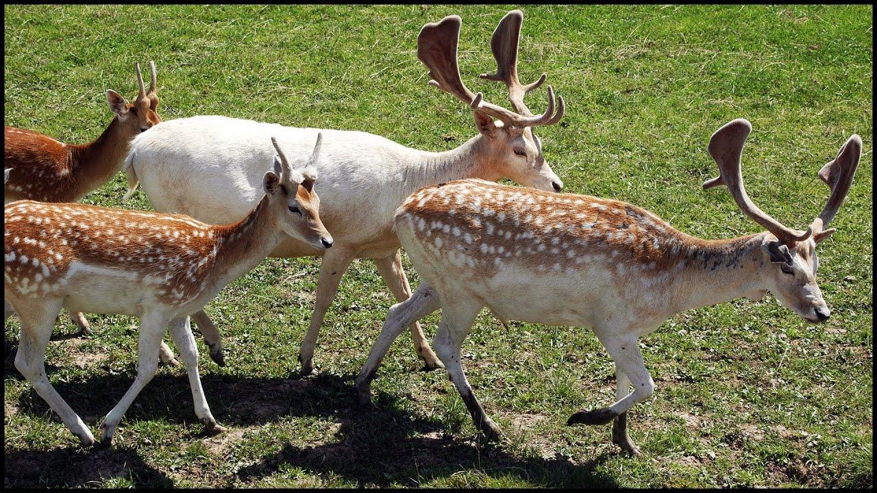 Types Of Deer (Cervidae)