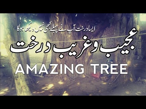 Amazing Tree || Dilchasp o Ajeeb Video || Ajeeb Drakht
