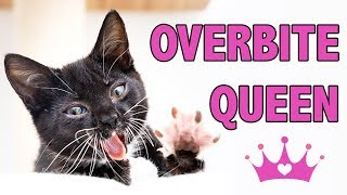 Overbites in Kittens: Helping Babies with Class II Malocclusion
