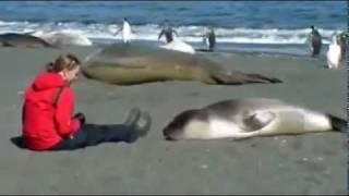 Морской котик, такой милаш