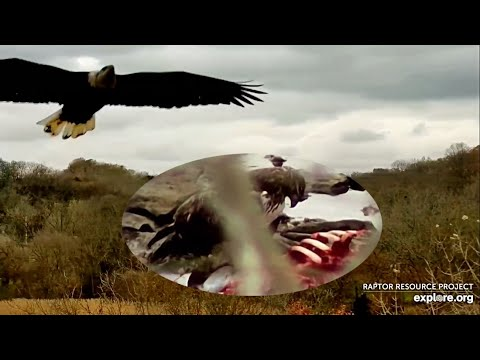 Decorah Eagles- A Hawk & Eagle Eat Off A Carcass In The Creek