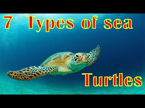 7 Types Of Sea Turtles | Sea Turtle Species | Facts About Turtle