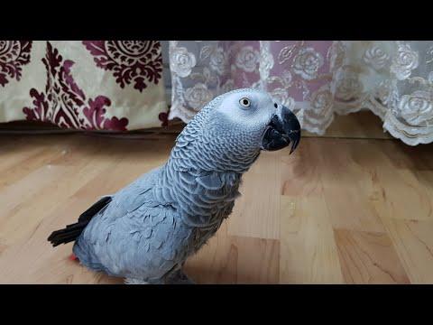 Попугай матершинник матерится на кота и говорит с хозяином