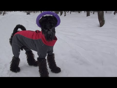 Kerry Blue Terrier (8 months): winter fun and old toys/Унка (8 мес.): зимние забавы и старые игрушки