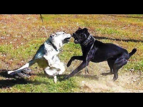 бой собак видео