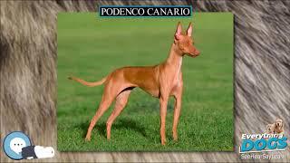 Podenco Canario  Everything Dog Breeds
