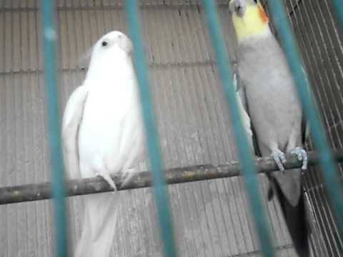 lovely cacatua birds