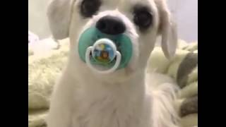 Cute Dog With Pacifier