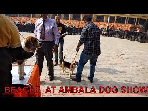 Beagle Dog Show at Ambala {INDIA}. champion beagle doing cat walk