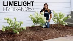 Light Up Your Landscape with Limelight Hydrangea