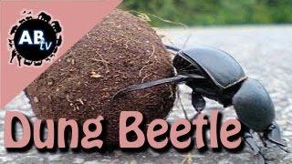 Dung Beetle : Shannon Wild : AnimalBytesTV