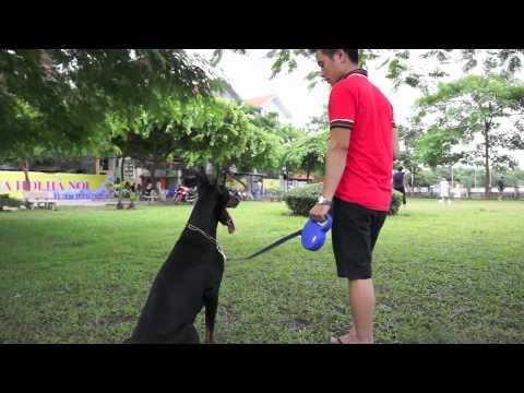 Xích chó Flexi - Huấn luyện Doberman