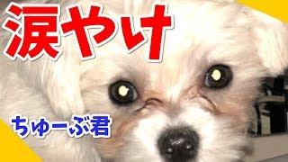 マルチーズの子犬、ちゅーぶ君の切実な悩み相談室。涙涙の物語。 【関連...