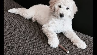 Cosmopolitan Companion Dogs Introduction
