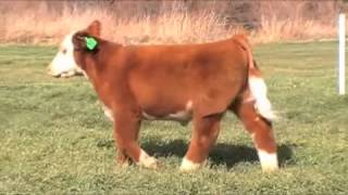 Ear Tag 37 Nitty Gritty Steer