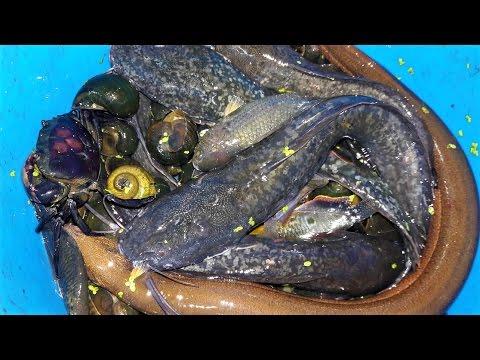 Thăm Bẫy Cá Bắt Được Lươn Khủng || Traditional Fish Trap In Vietnam