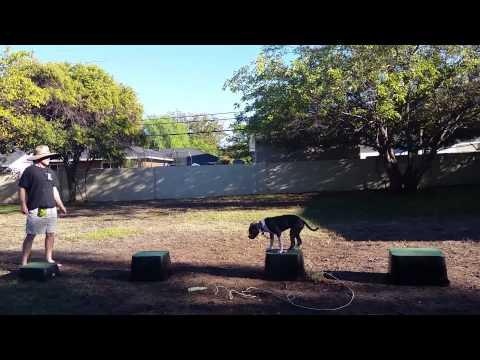 Canine Tutors, San Jose Dog Training, Pitbull Training