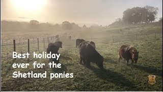 ... it's the best holiday ever for shetland ponies at ranch. have finished riding w...