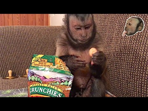 Capuchin Monkey Tells You How Much He LOVES His Snack!