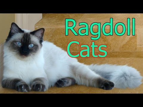 Ragdoll Cats ★ AnyFuns Channel