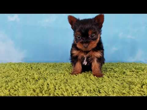 Topdogla- Zina (Yorkshire-Terrier, Female)*Tcup