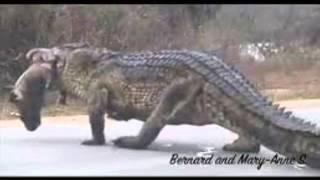 مدحة التمساح لأولاد حاج الماحي