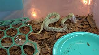 Bothrops leucurus - WikiVisually