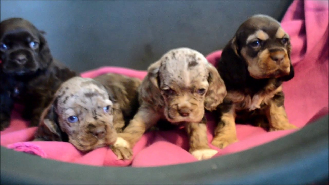 dugan cocker spaniel puppy for cocker spaniel puppies for sale www maryscockerhaven com 4831