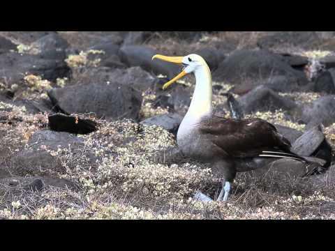 Waved Albatross Galapagos Island