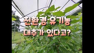 친환경 유기농 대추가 가능하다(?)