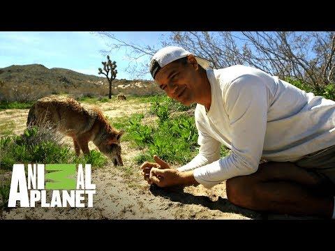 La Diferencia Entre Lobos Y Coyotes | Wild Frank En California | Animal Planet