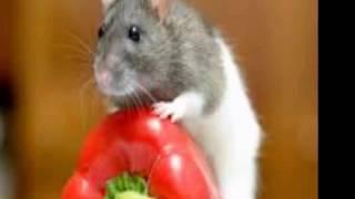 Фотографии крыс