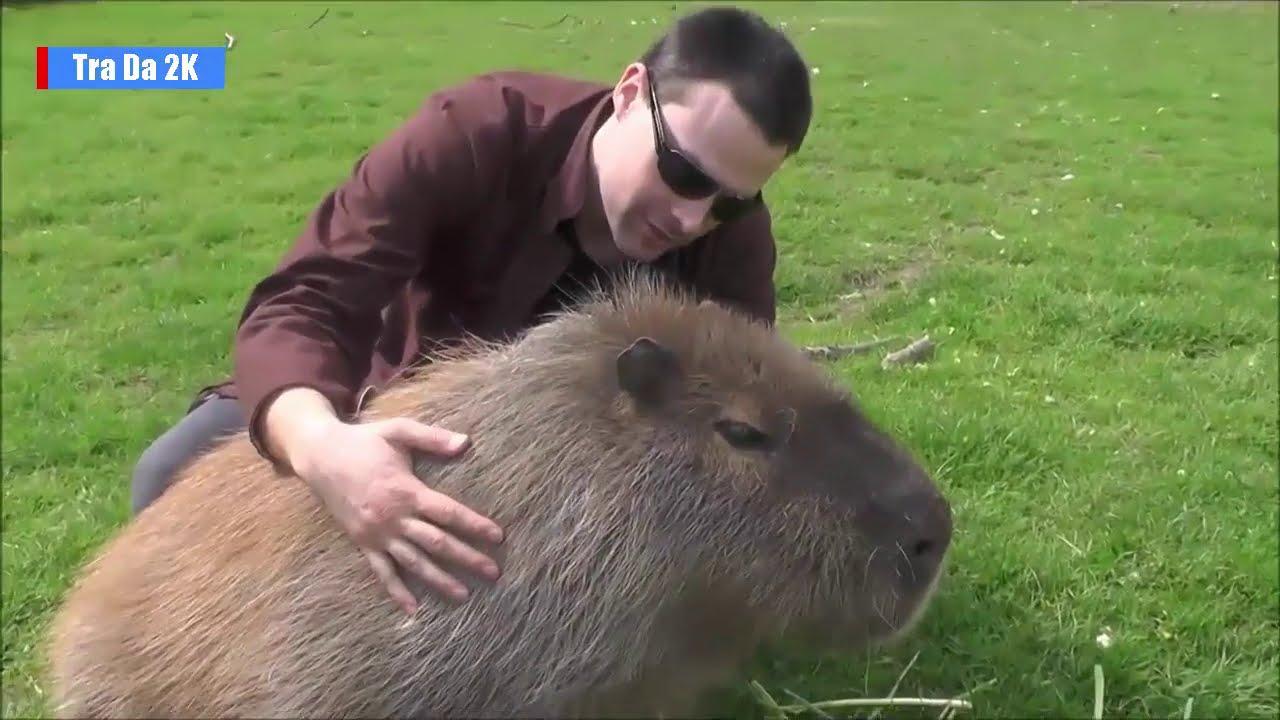 Chuột lang nước Khổng Lồ to như con Lợn nặng tới 100kg
