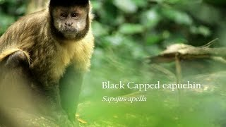 Monkeys- Capuchin tool use