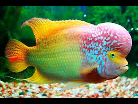 Beautiful Freshwater Aquarium Fishes 03459442750 Zain Ali Farming In