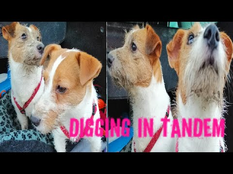 JRT Funny Jack Russell Ara and Bella The Digging In Tandem
