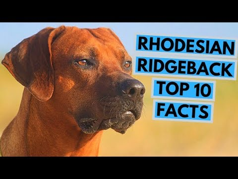 Rhodesian Ridgeback - TOP 10 Interesting Facts